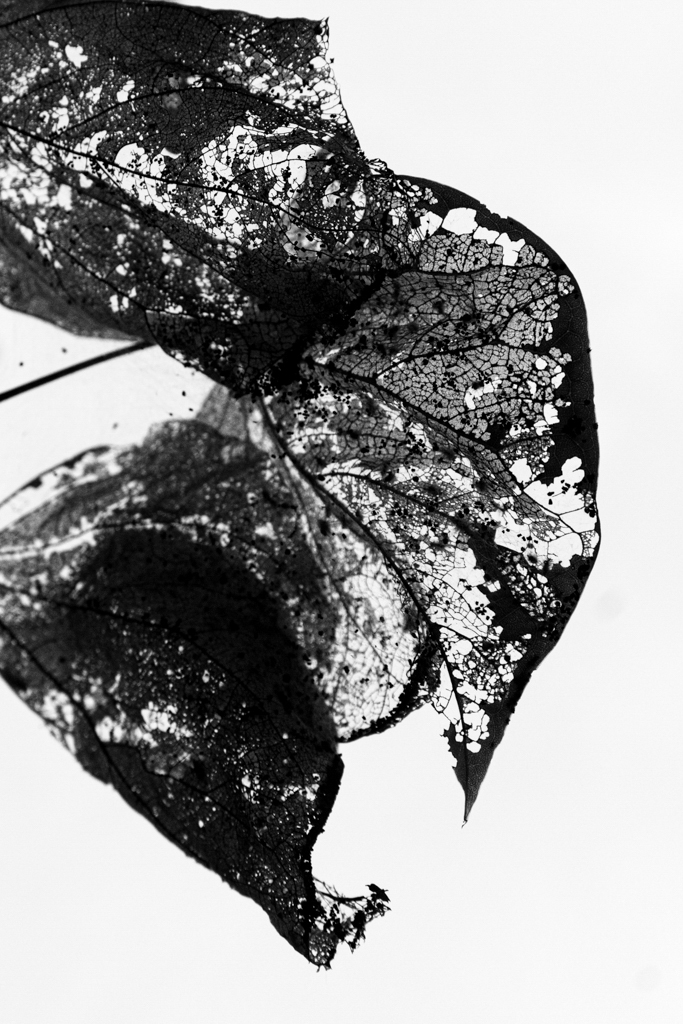 Leaf . Brooklyn